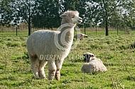 Alpaca waakt over schapen