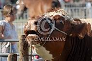 Oost-Vlaams wit-rood rund