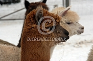 Alpaca's in de winter