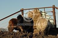 Shetlanders met een baal hooi