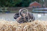 Minirex of kleinrex konijn (Japanner)