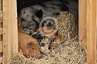 Biggen in het varkenshok