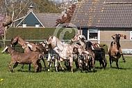 Nederlandse Nubische geit