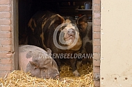 Hobbyvarkens in hun hok