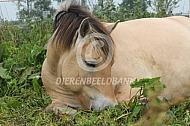 Rustend Fjorden paard