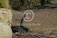 Zwarte zwanen (Cynus atratus)
