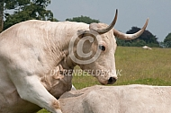 White Park cattle, tochtige koe