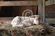 Kempisch Heideschaap lam