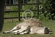 Liggende lama in de zon