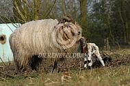 Drentse heideschaap ooi met lam