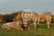Blonde d'Aquitaine stier met koeien