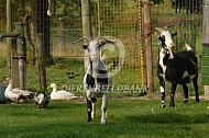 Gecastreerde bokken (bonte geit)