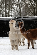 Alpaca's in de winter