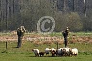 Kleine kudde Ardense voskop schapen