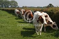 MRIJ koeien langs een meidoornhaag