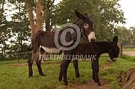 Poitou ezel