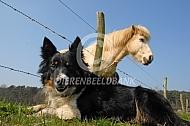 Hond en IJslands paard