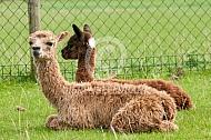 Liggende suri en alpaca