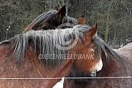 Poetsende, groomende paarden