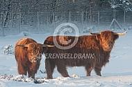 Schotse Hooglanders in de sneeuw