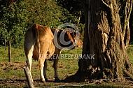 Limousin koe bij boom