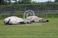 Twee liggende trekpaarden