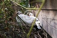 Jonge duiven op hun nest
