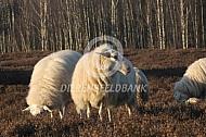 Veluws heideschaap
