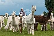 Alpaca worden opgedreven