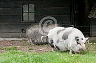 Hangbuikzwijn