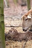 Bruin zelfruiend haarschaap met lam