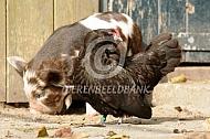 Antwerpse baardkriel met varken