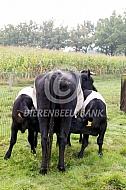Lakenvelder koe met tweeling