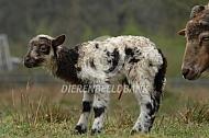 Zojuist geboren lam Drents heideschaap