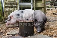 Huisvarkens in de tuin
