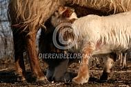 Drinkend lam drentse heideschapen