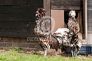 Nederlandse baardkuifhoen, kraaiende haan