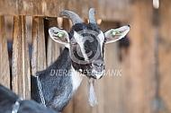 Poitevine geiten op stal