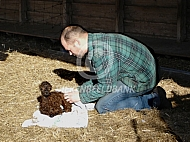 Geboorte van een alpaca cria