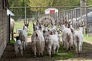 Girgentana geiten