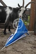 Nederlandse landgeit met paraplu