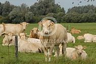 Blonde d'Aquitaine