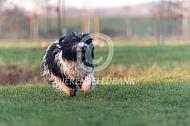 Rennende schapendoes