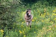 Konik paarden tussen de jacobskruiskruid