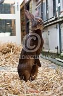 Belgische haas
