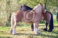 poetsende trekpaarden