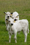 White Park cattle kalveren