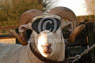 Wiltshire Horn ram met masker tegen stoten