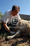 Dierenarts tapt bloed bij schaap