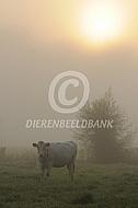 Koe in de ochtendmist